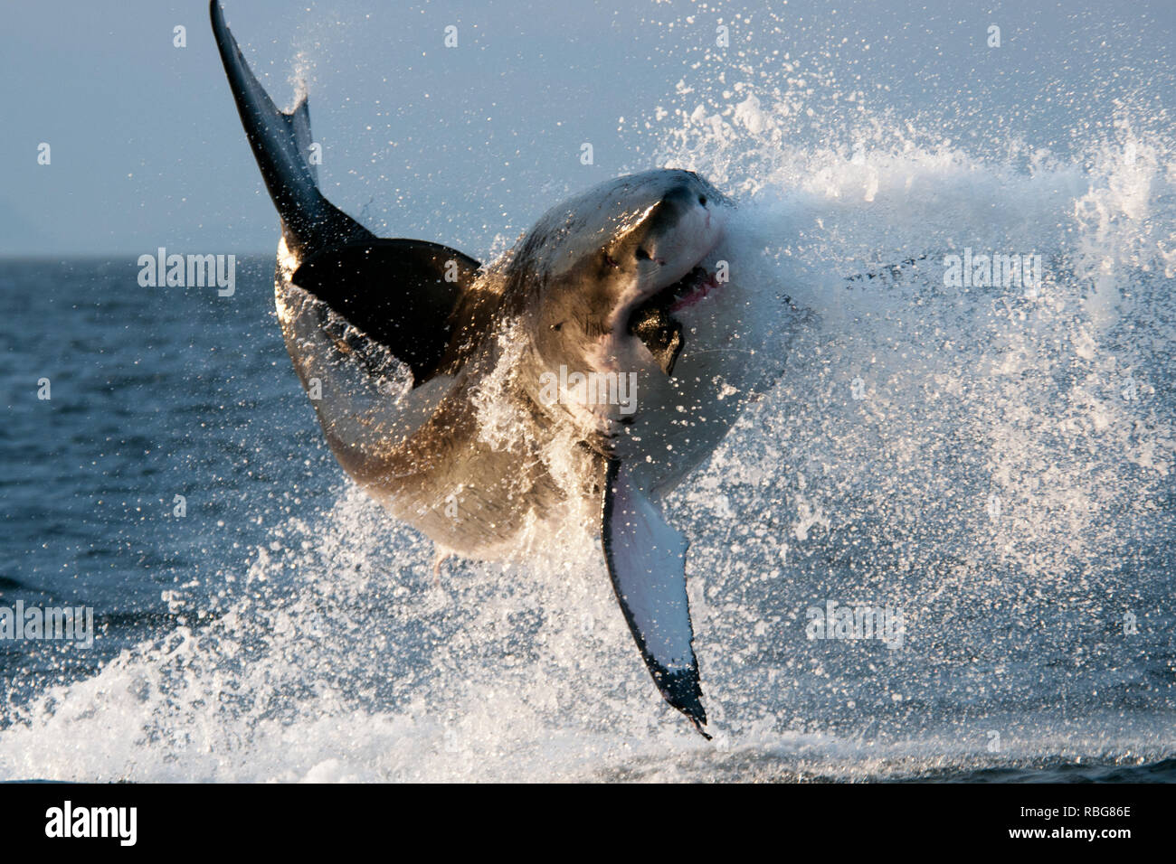 Breach. DRAMATIC images capture a huge 14 foot-long Great White shark hurtling through the air after it breached the water in search of a tasty meal. The action shots show the 2,000lb shark launching itself into the air as water is sprayed everywhere. Other stunning pictures and video delve underwater and show a different Great White shark swimming through the ocean and exploring the diver in a cage. The incredible breach was captured in False Bay, South Africa by photographer David Nazareno Barragan (33), from Barcelona, Spain who also filmed the Great Whites underwater in Isla Guadalupe, Mex Stock Photo