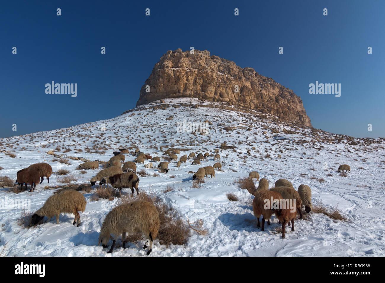 The sheep flocks on the hill of Kazim Dashi, Placed in Urmia Lake, West Azerbaijan province, Iran - Stock Image