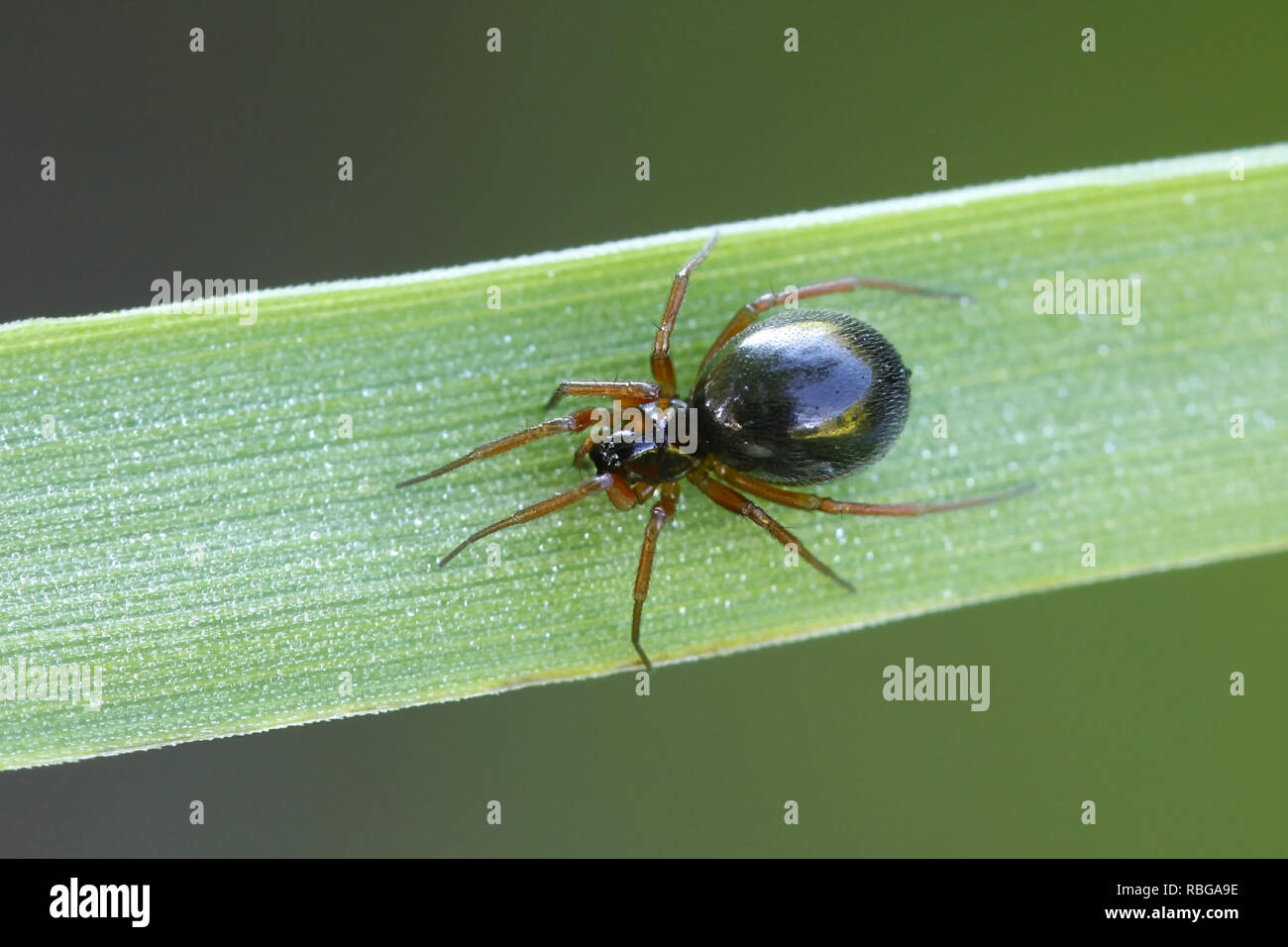 Linyphiidae, commonly called sheet weavers or money spiders - Stock Image
