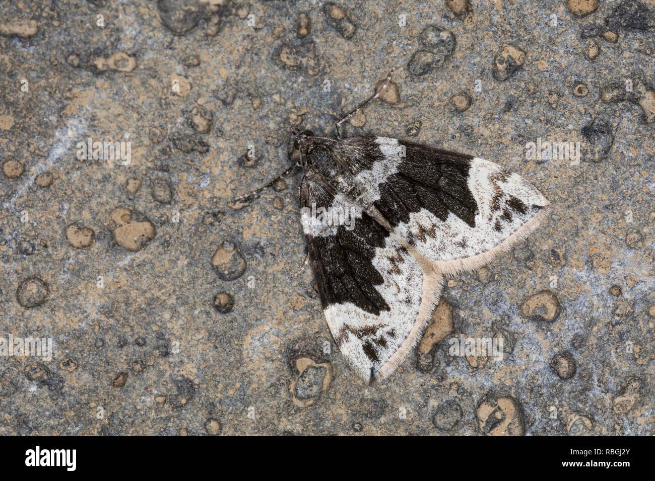 Spitzwinkel-Bindenspanner, Buschhalden-Blattspanner, Dysstroma citrata, Chloroclysta citrata, dark marbled carpet, northern marbled carpet, Spanner - Stock Image