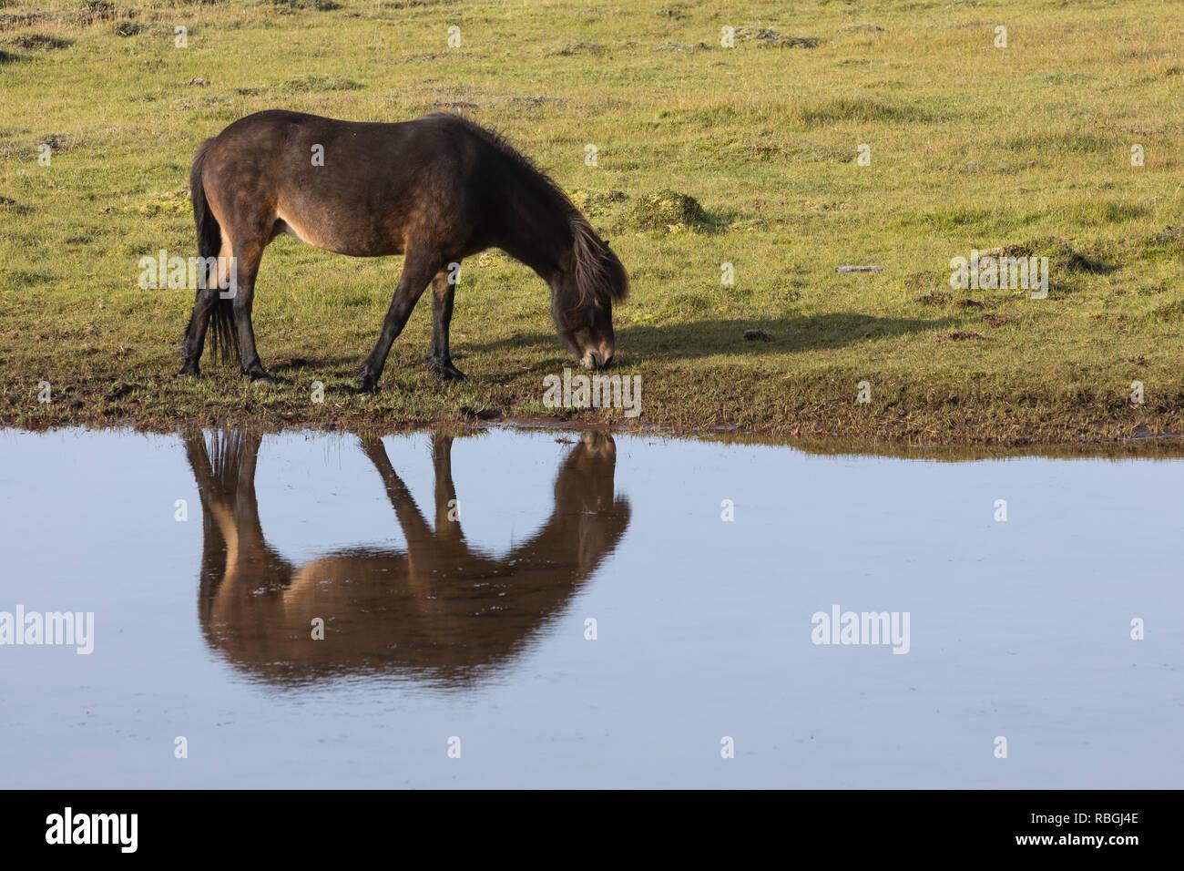 Islandpferd, Isländer, Islandpony, Island-Pferd, Isländer, Island-Pony, Pony, Ponies, Wasserspiegelung, Spiegelung, auf Island, Icelandic horse, Icela - Stock Image