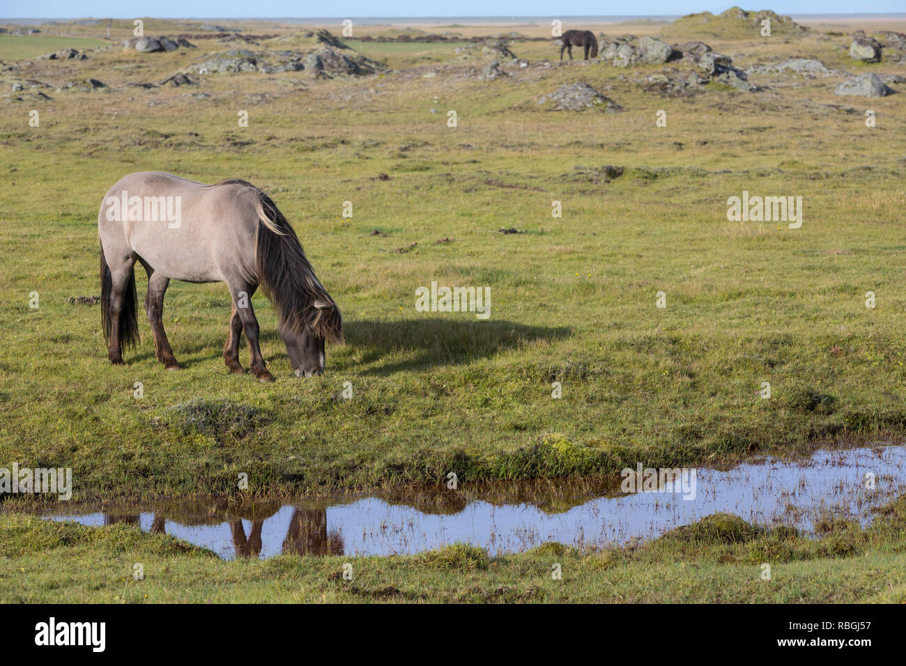 Islandpferd, Isländer, Islandpony, Island-Pferd, Isländer, Island-Pony, Pony, Ponies, auf Island, Icelandic horse, Iceland, L'islandais, Islandais - Stock Image