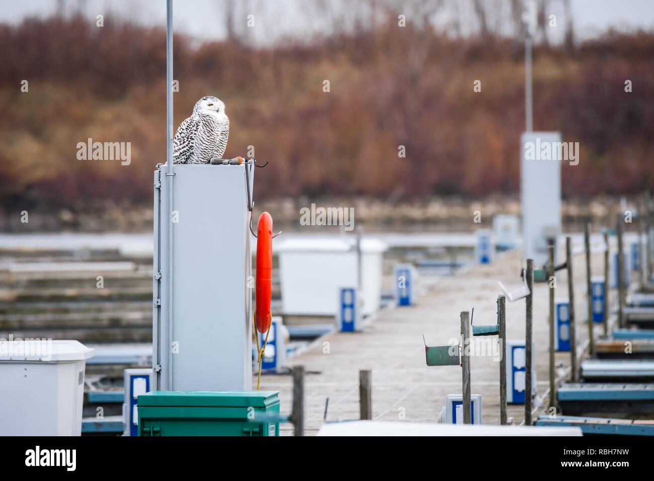 A Snowy owl appoints herself as harbourmaster at Colonel Samuel Smith Park in Toronto, Ontario.  Snowy owls are considered vulnerable to extinction. - Stock Image