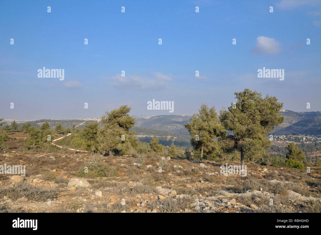 Pinus halepensis, commonly known as the Aleppo pine, is a pine native to the Mediterranean region. Its range extends from Morocco, Algeria and Spain n - Stock Image