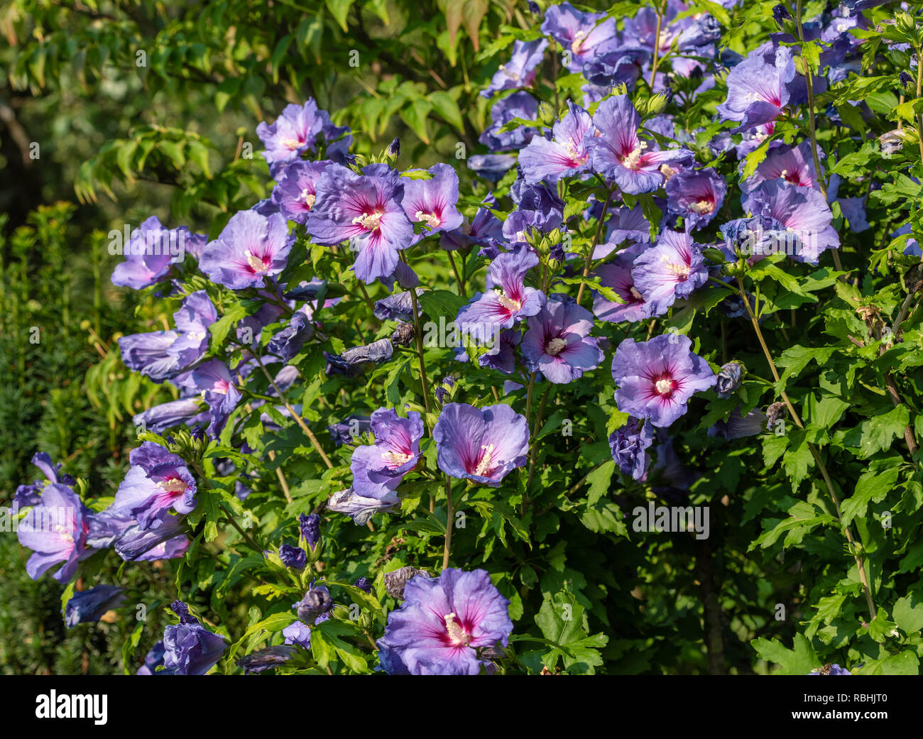 Color Outdoor Natural Floral Close Up Image Of Shrubbush Full Of