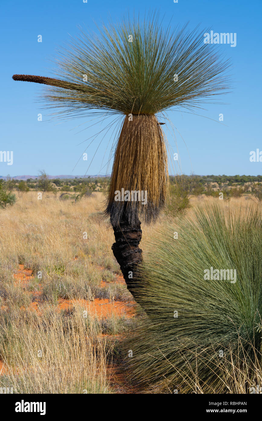 Cundeelee grasstree or Xanthorrhoea thorntonii in outback landscape of MacDonnell Ranges NT central Australia - Stock Image