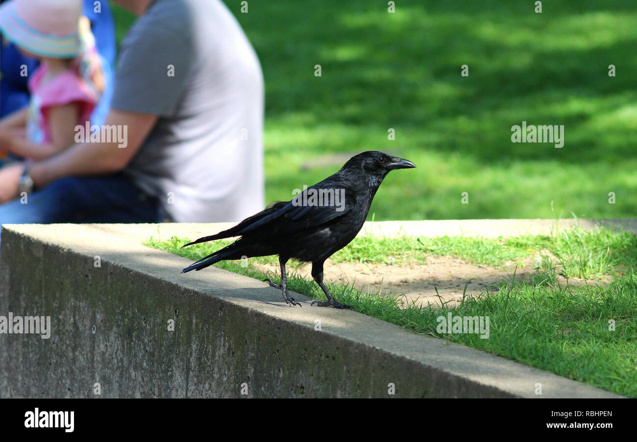 curious raven near sitting people in a green park - Stock Image