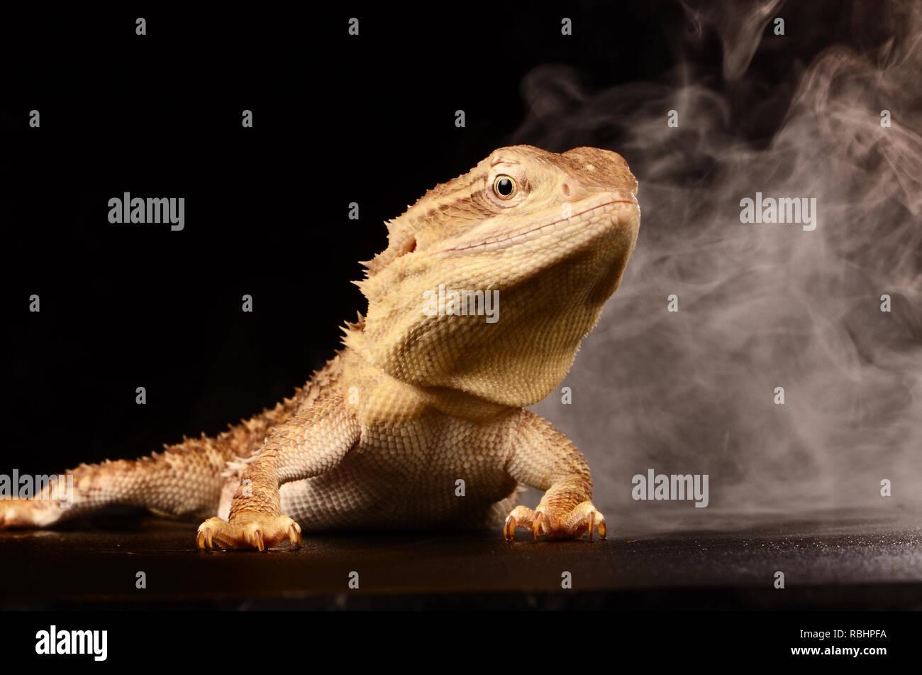 Rankins Dragon Lizard - Stock Image