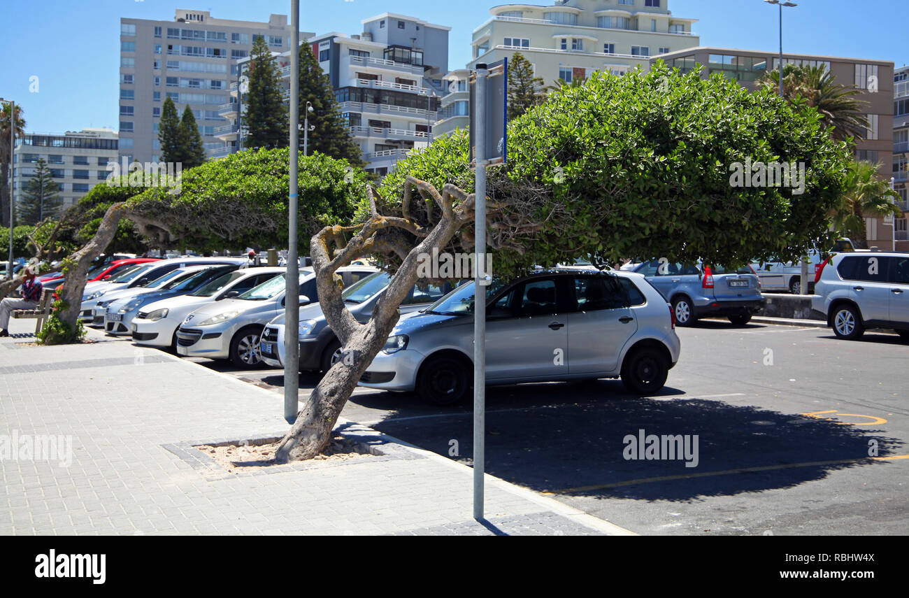 cars parked beneath leaning trees on Sea Point Promenade, Cape Town, South Africa - Stock Image
