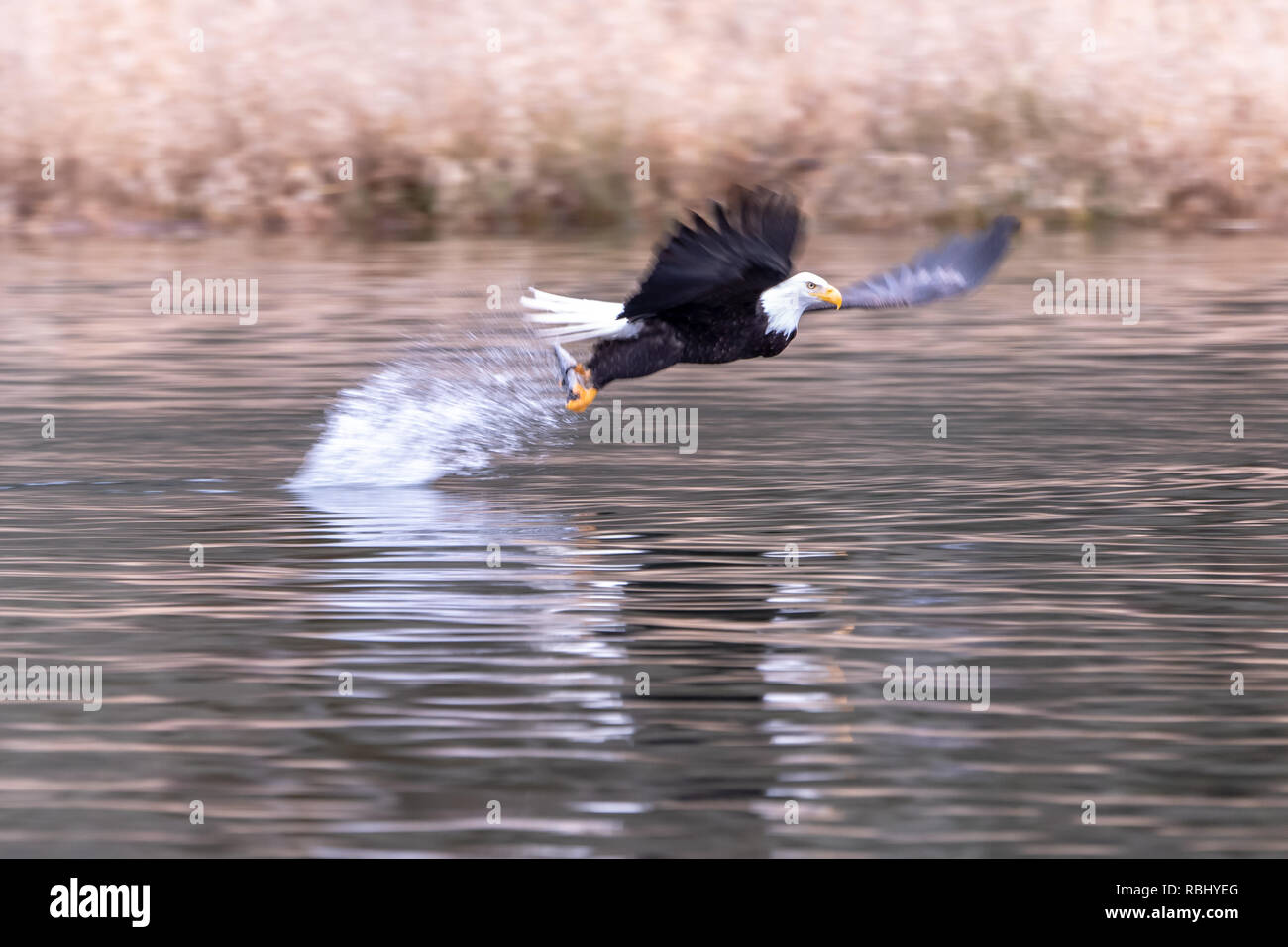 Bald eagle (Hailaeetus leucocephalus) takes off with fish firmly clasped in talons - Stock Image