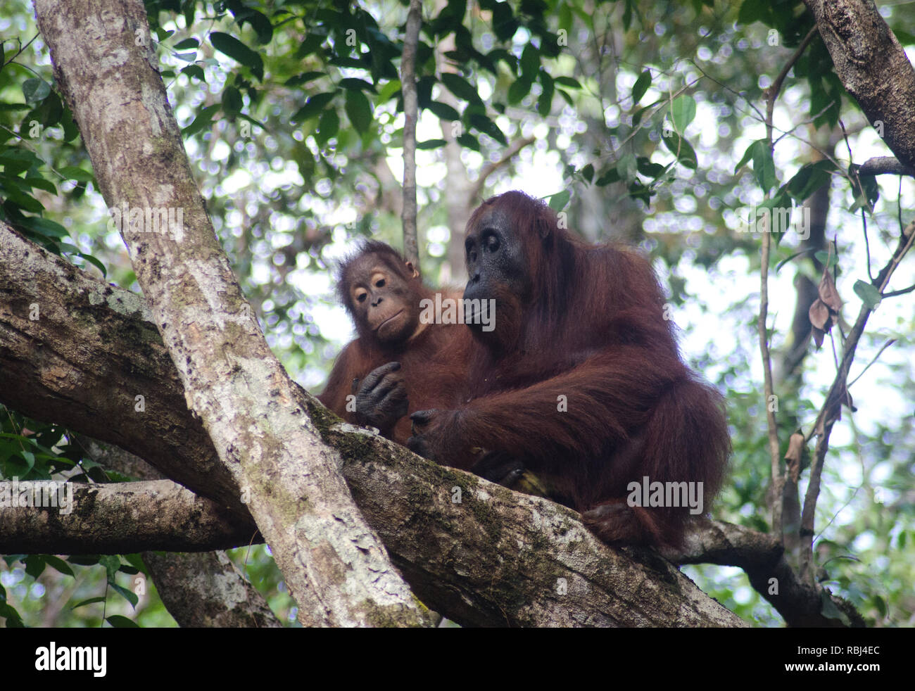 In a remote Borneo park a wild orangutan mother, however unlikely, appears to be checking her phone as her fascinated child watches - Stock Image