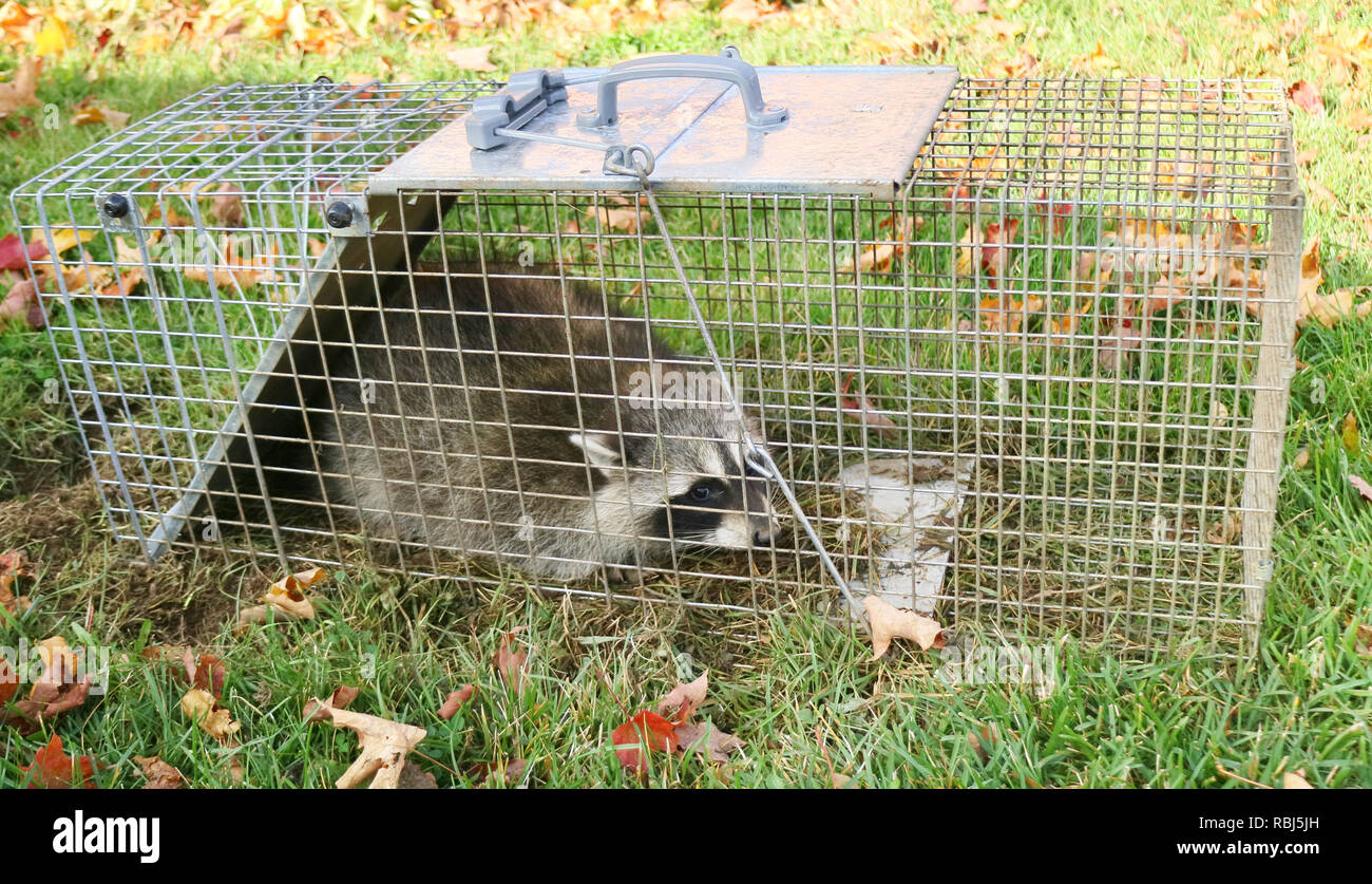 A raccoon caught in a cage in a garden and ready to be re-released into the wild - Stock Image