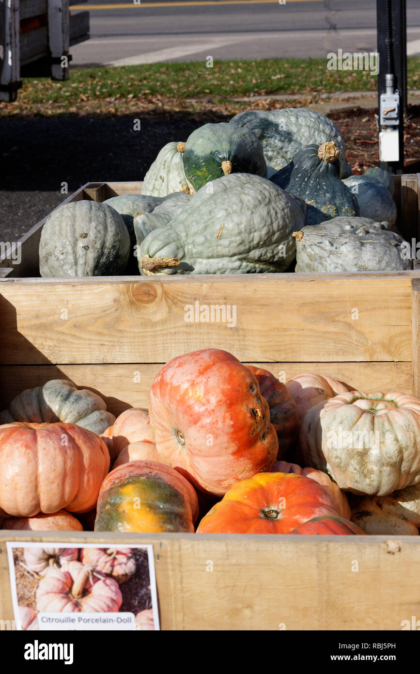 A box containing pink Porcelain Doll pumpkins for sale on a farm in Quebec - Stock Image