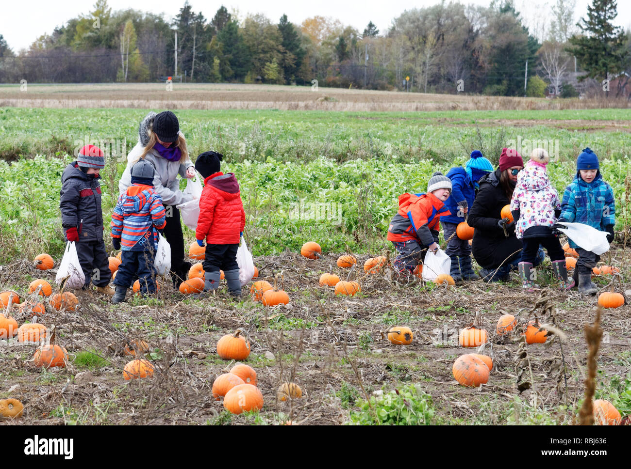 School children picking their halloween pumpkins from a field on a farm visit in Quebec, Canada - Stock Image