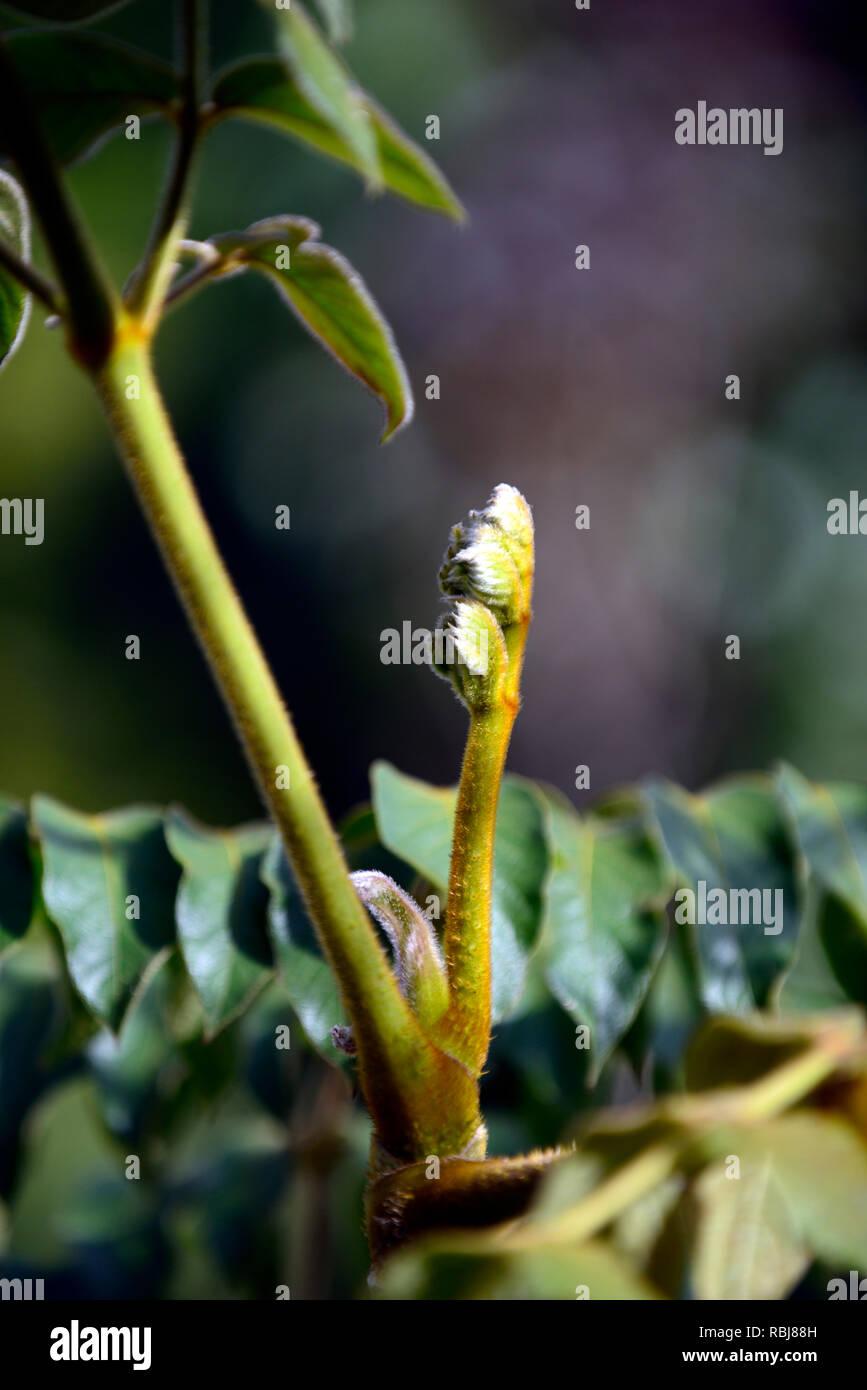 Aralia vietnamensis,leaves,foliage,tree,leathery foliage,hairy leaves,RM Floral - Stock Image