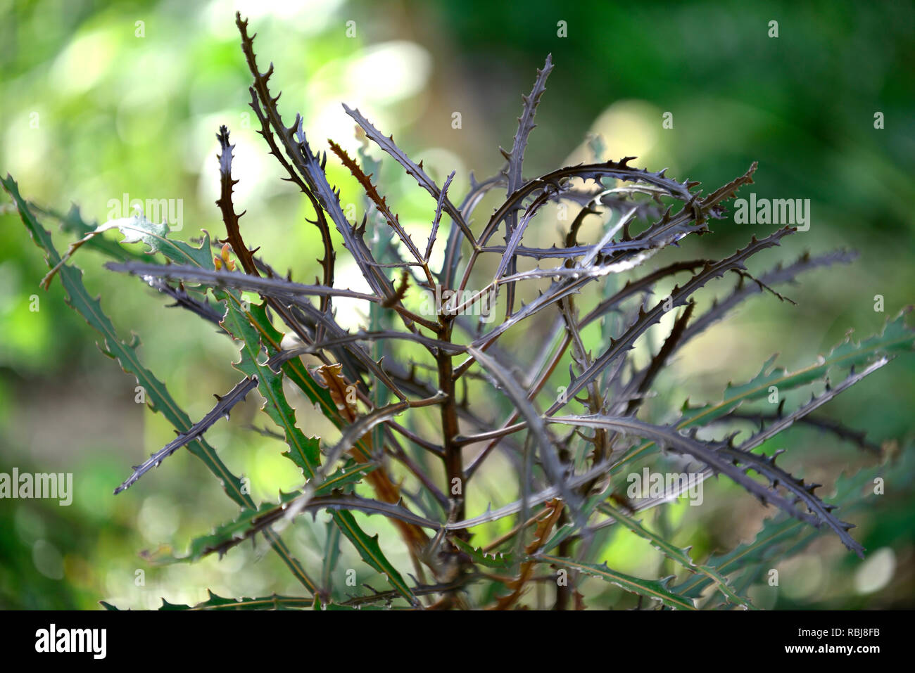 Pseudopanax chainsaw,thick leathery leaves,evergreen,chainsaw blade,mimic,resemble,tree,trees,RM Floral - Stock Image