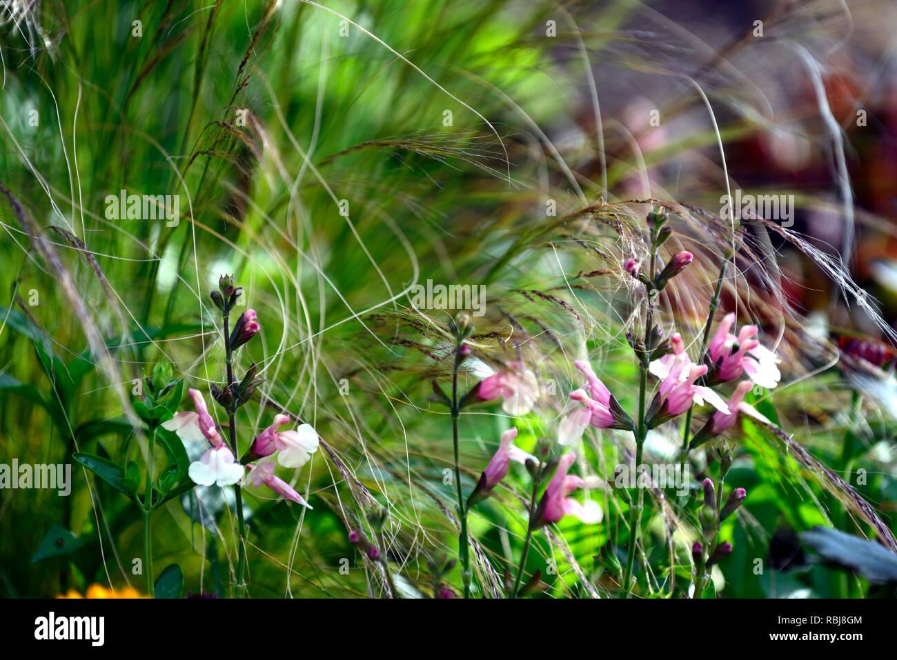salvia x jamensis sierra san antonio,sages,sage,salvias,scented,bicoloured creamy yellow peach flowers,combination,grasses,grass,mix,mixed,RM Floral Stock Photo