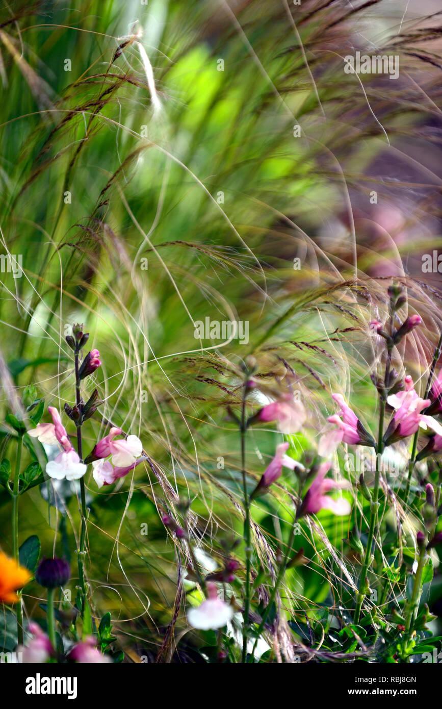 salvia x jamensis sierra san antonio,sages,sage,salvias,scented,bicoloured creamy yellow peach flowers,RM Floral Stock Photo
