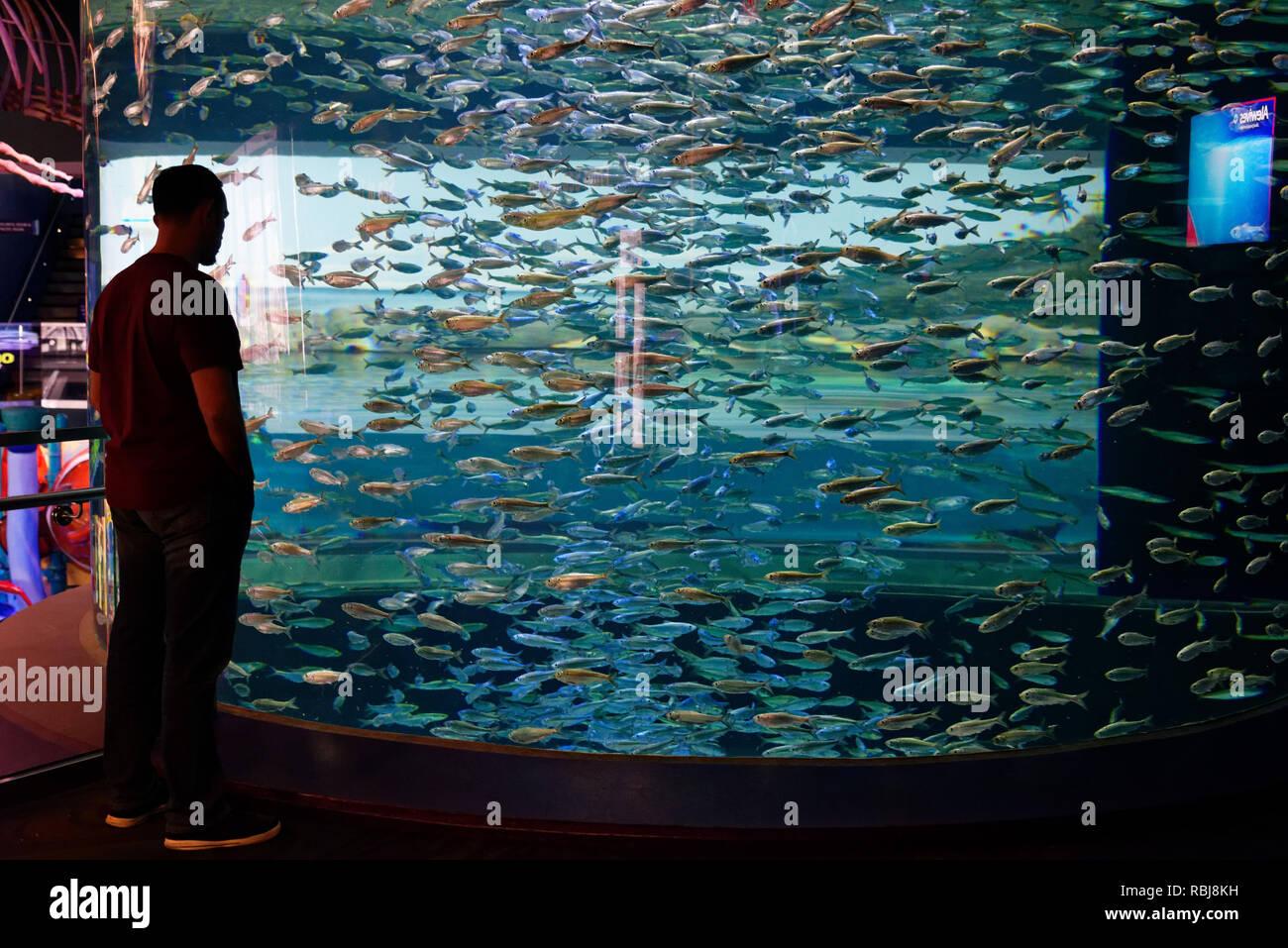 People looking at the Alewives (Alosa pseudoharengus) inside Ripley's Aquarium of Canada, Toronto, Ontario - Stock Image