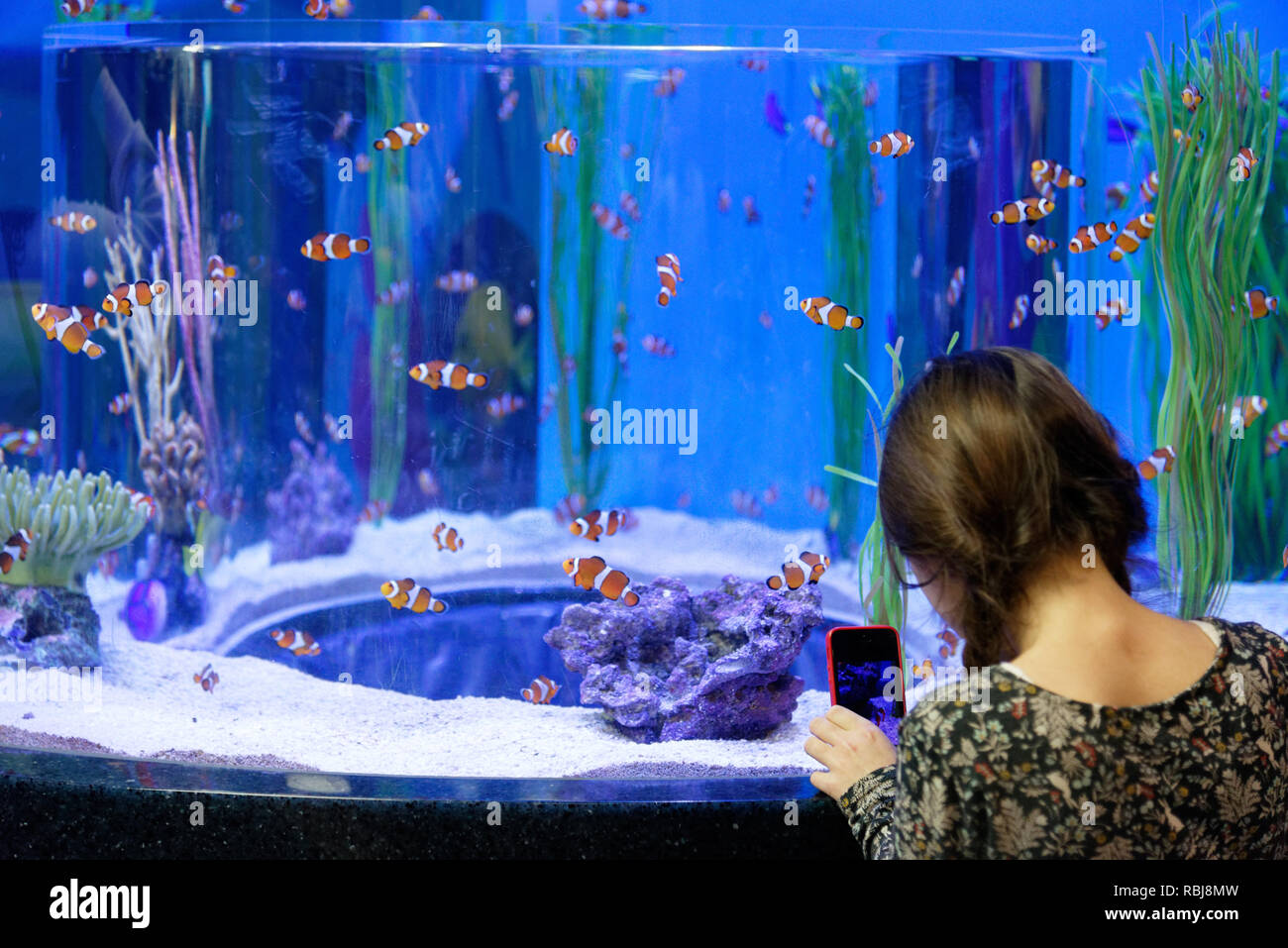A young girl (8yrs old) taking photos of clownfish with a cellphone inside Ripley's Aquarium of Canada, Toronto, Ontario - Stock Image