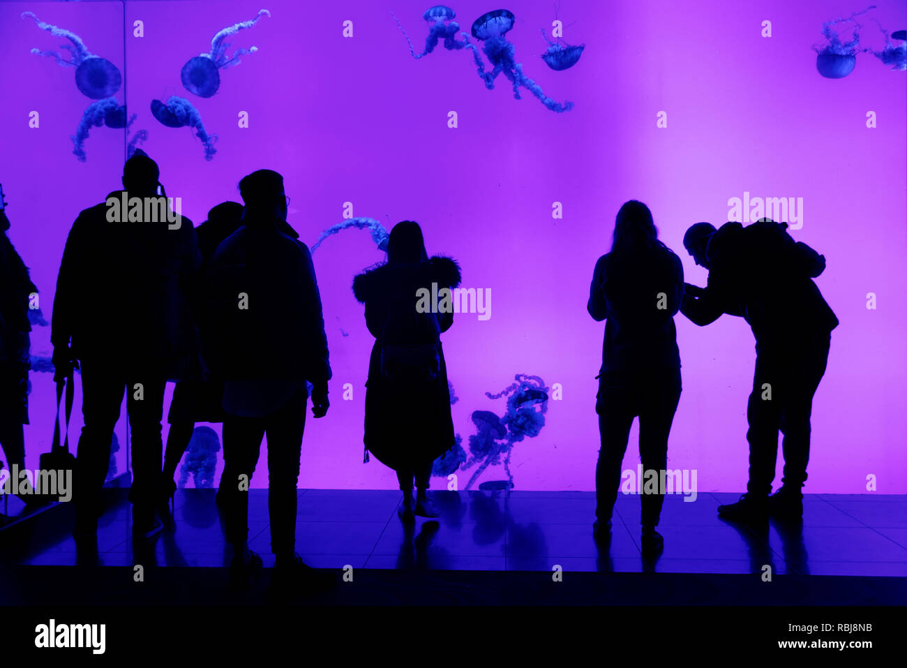 People silhouetted against the jellyfish tank inside Ripley's Aquarium of Canada, Toronto, Ontario - Stock Image
