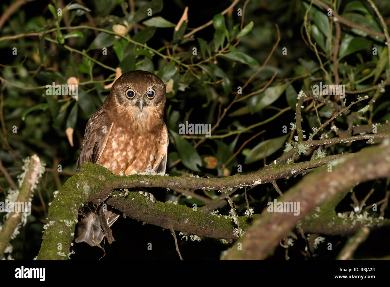 Boobook Owl perched and alert - Stock Image