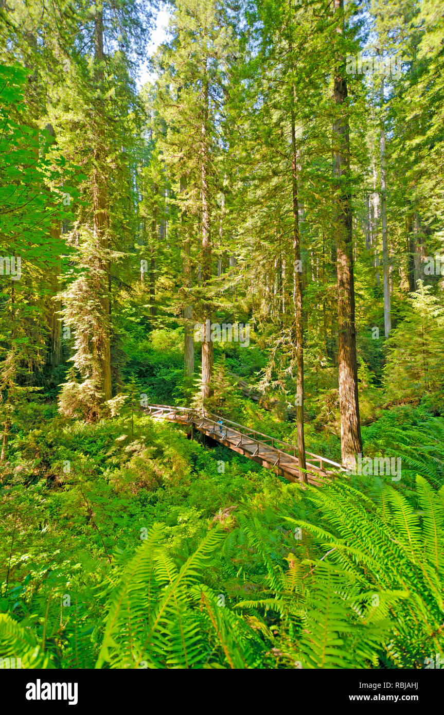 Hiker on a Forest Trail in Redwoods National Park - Stock Image