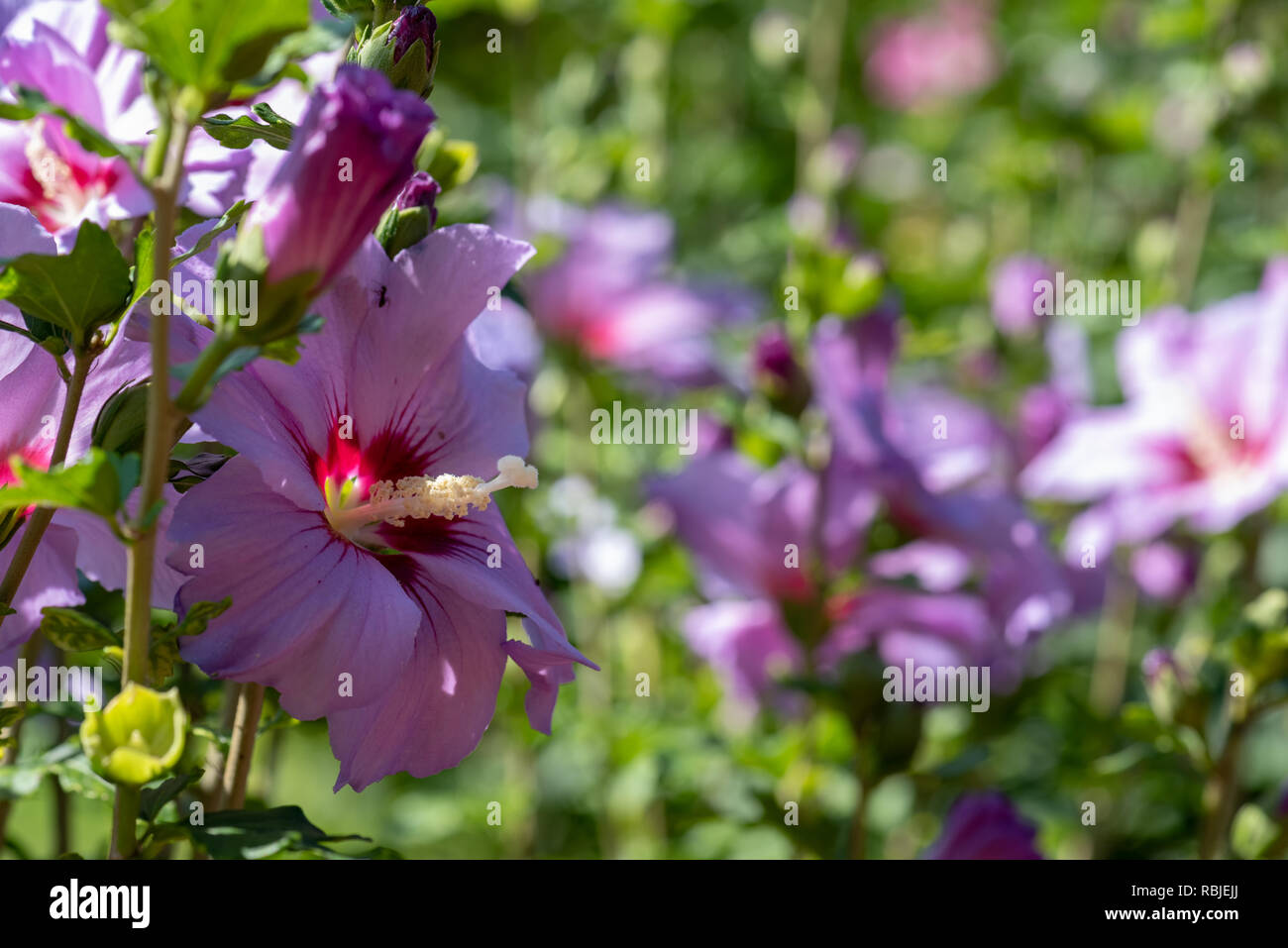 Bright outdoor natural floral close up image of a single wide open pink purple hibiscus blossom on a bush with buds,colorful blurred  background,sunny - Stock Image