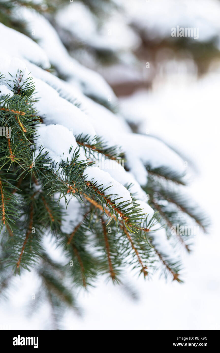 Picturesquely evergreen brunch of spruce tree with snow on it in frosty fir forest - Stock Image
