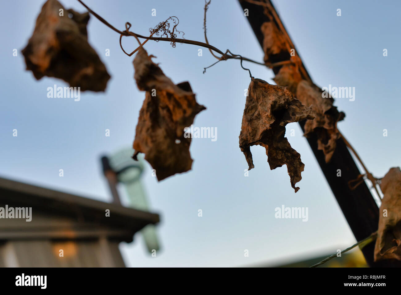 dead vine with empty rain gauge during drought rural Australia - Stock Image
