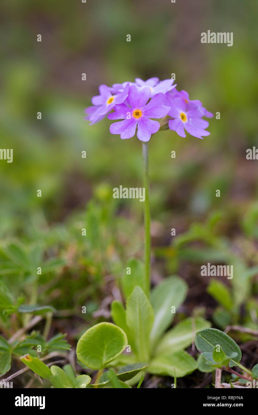 Bird's-eye primrose (Primula farinosa), Hohe Tauern National Park, Carinthia, Austria Stock Photo