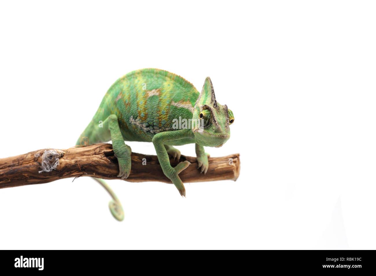 Veiled Chameleon isolated on white background - Stock Image