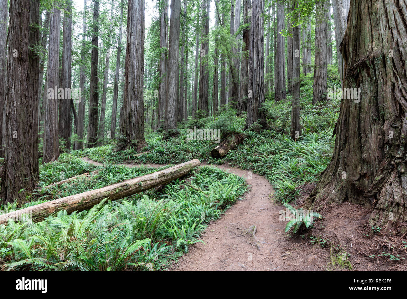 The Boy Scout Tree Trail winds through a wild old growth redwood (Sequoia sempervirens) forest in Jedediah Smith Redwoods State Park. - Stock Image