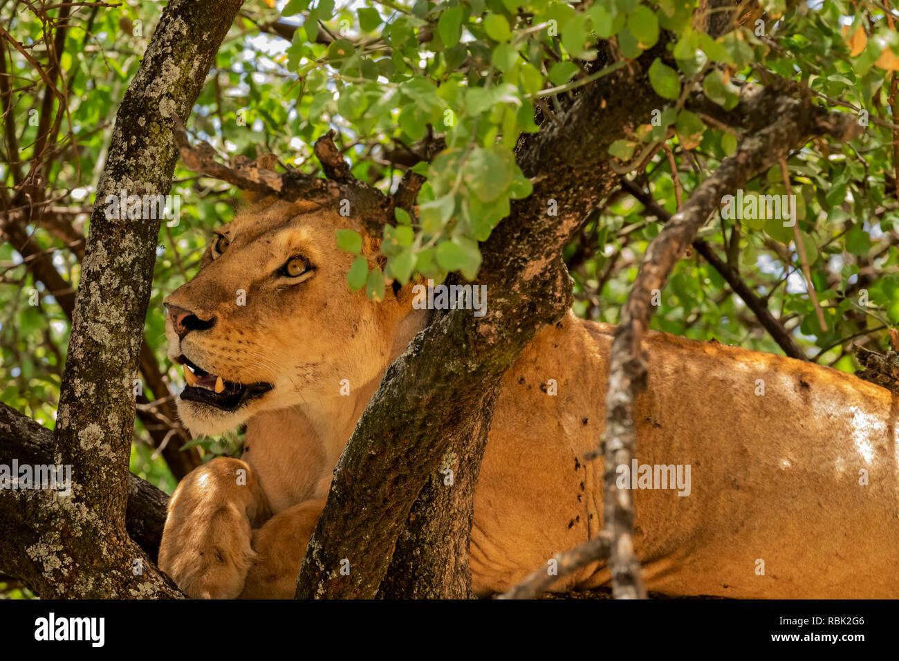 African Lion (Panthera leo) female resting in a tree in Lake Manyara National Park, Tanzania - Stock Image
