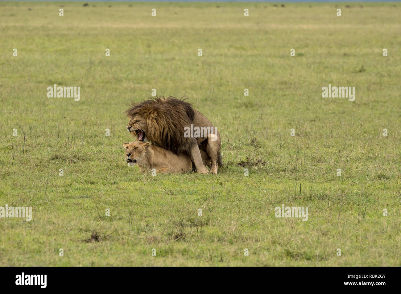 African Lion (Panthera leo) male and female mating on the open savannah in Ngorongoro Crater, Tanzania - Stock Image