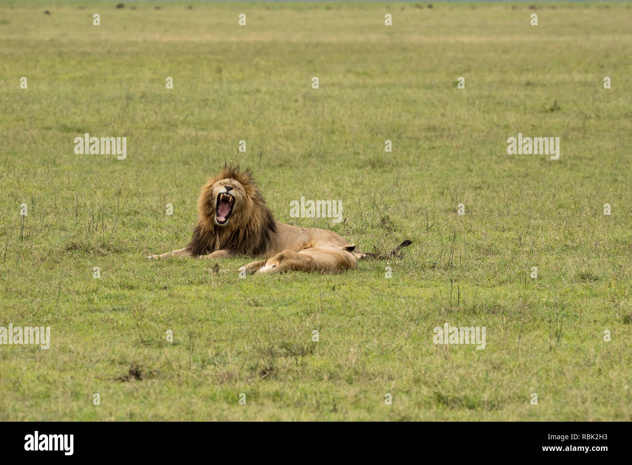 African Lion (Panthera leo) male and female resting after mating on the open savannah in Ngorongoro Crater, Tanzania - Stock Image