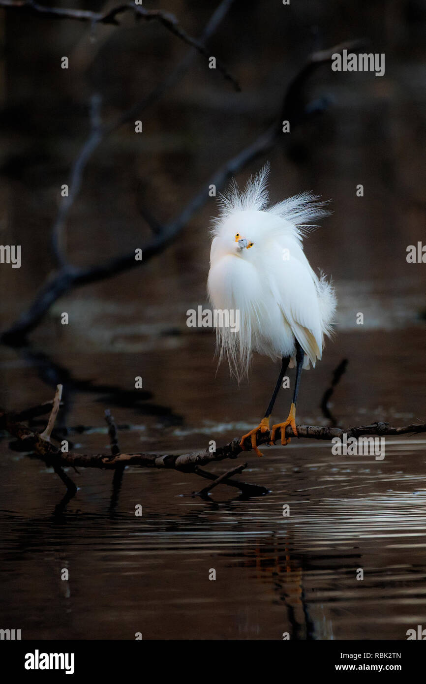 Snowy egret with wind-swept breeding plumes in early spring - Stock Image