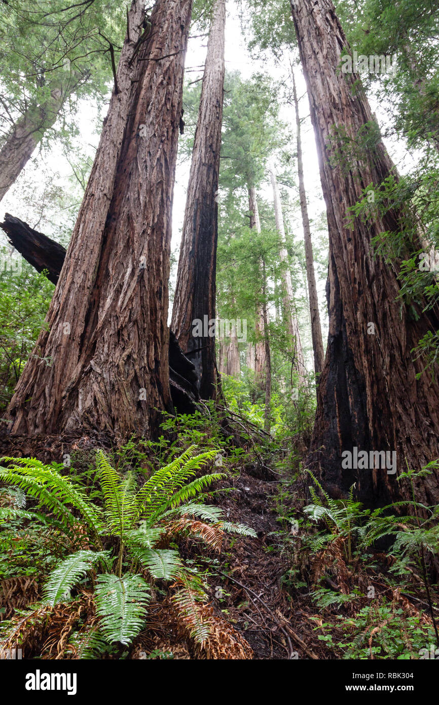 A grove of Coast Redwood trees (Sequoia sempervirens) grows along the Ben Johnson Trail in Muir Woods National Monumment. - Stock Image