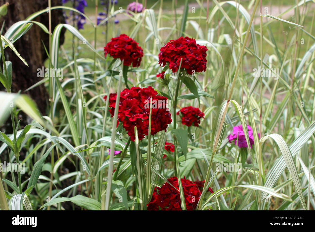 Crimson Red Sweet Williams Blooming In Ornamental Grass - Stock Image