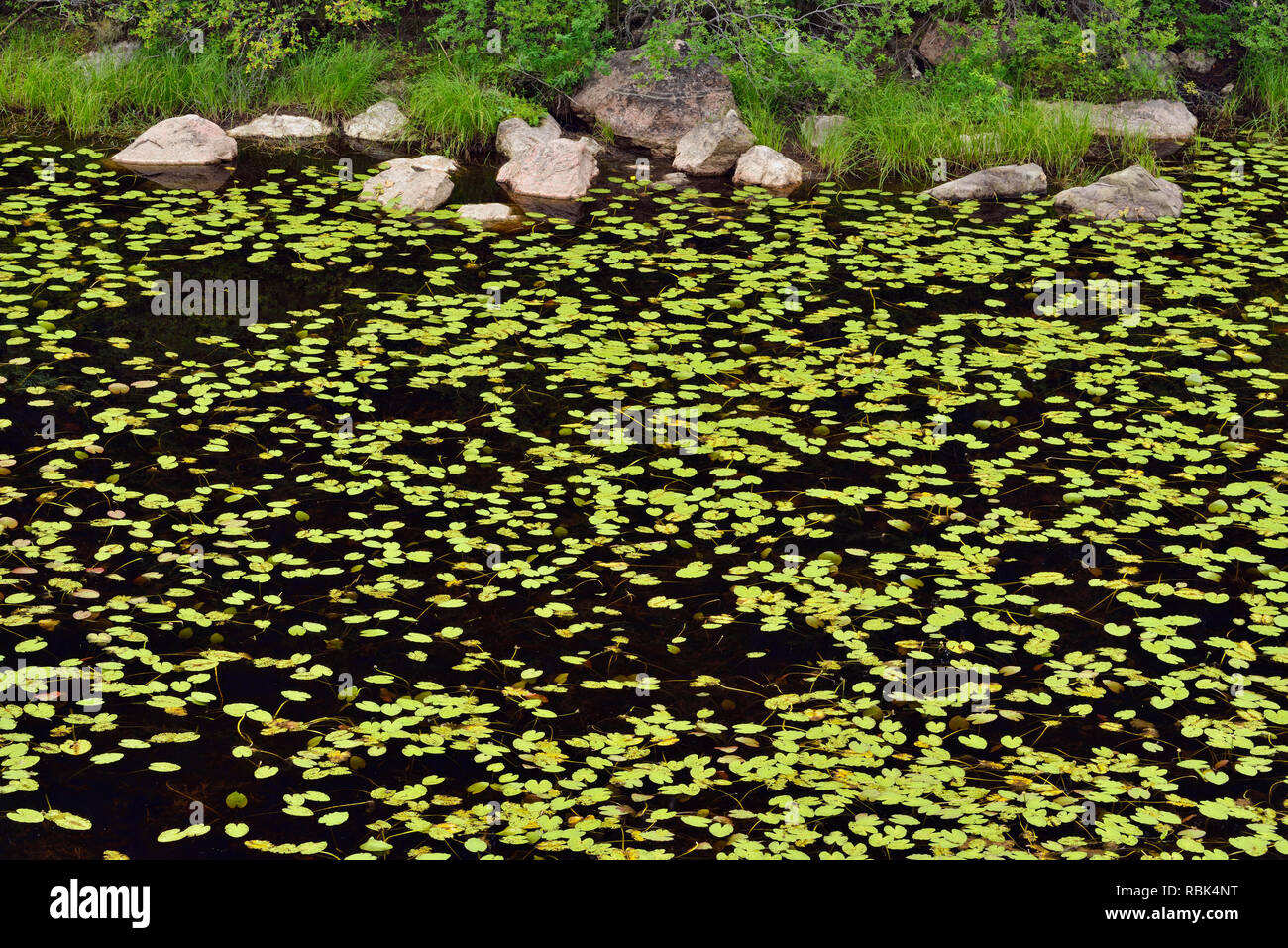Conifer reflections in a boreal pond with yellow water lilies., Halfway Lake Provincial Park, Ontario, Canada - Stock Image