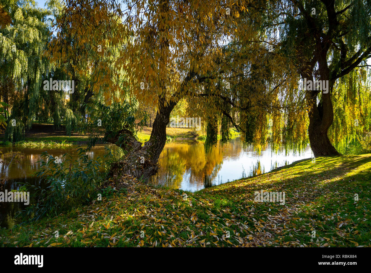 Calm autumn river with reflections of trees with colorful foliage viewed past a osiers branches and leaves - Stock Image