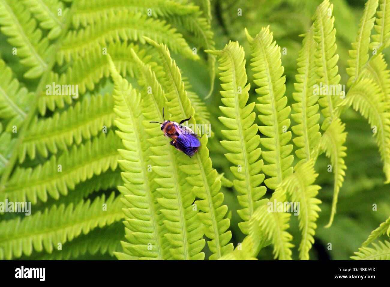 Closeup of a Carpenter bee resting on an Ostrich Fern leaf - Stock Image