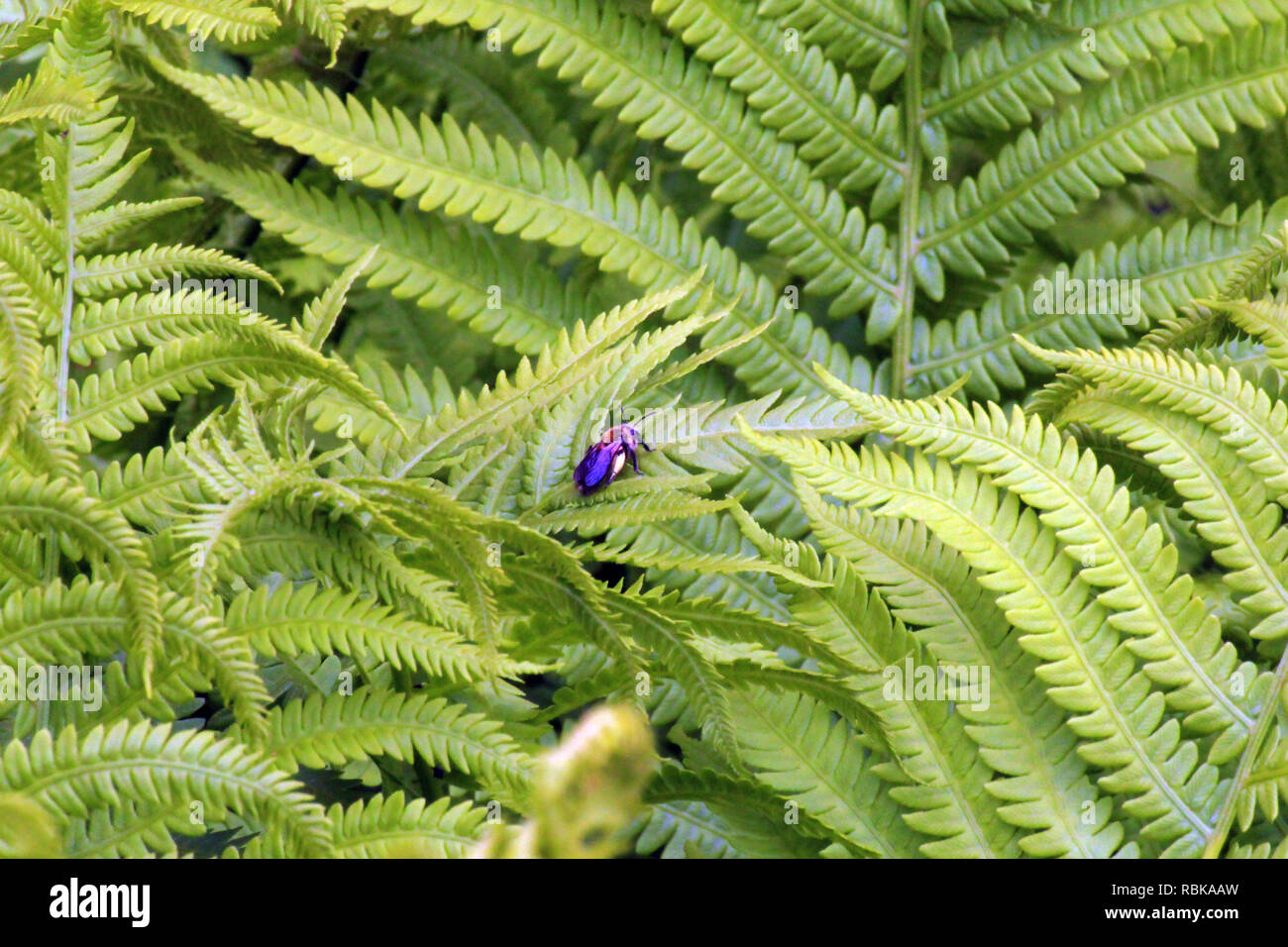 A Carpenter bee resting on an Ostrich Fern leaf - Stock Image