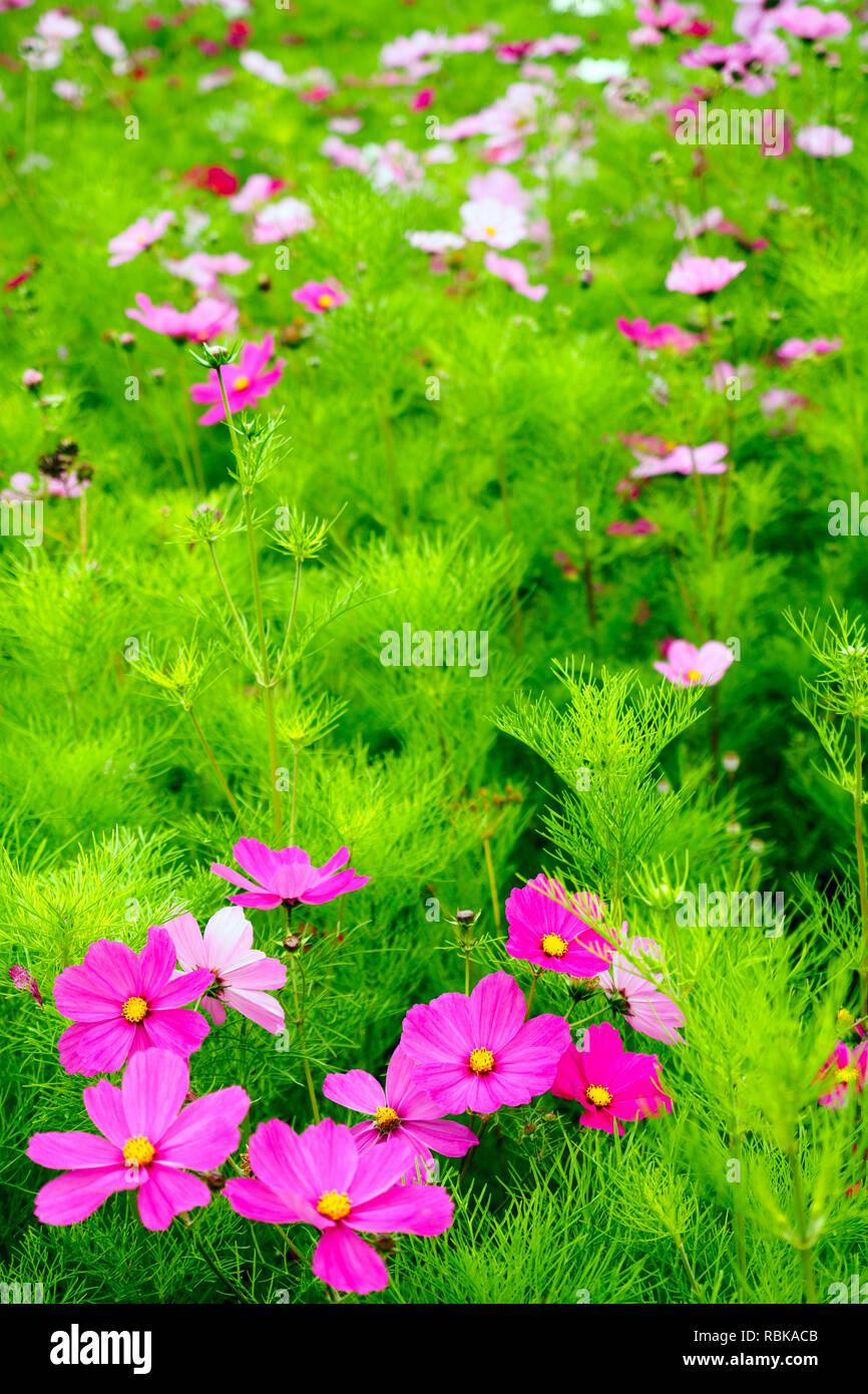red cosmos bipinnatus flower - Stock Image