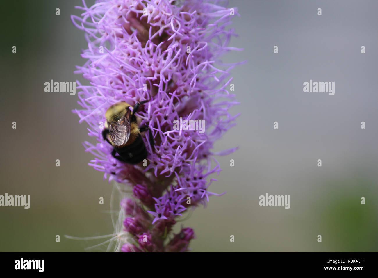 Macro shot of a bumblebee feeding on a purple Liatris flower - Stock Image