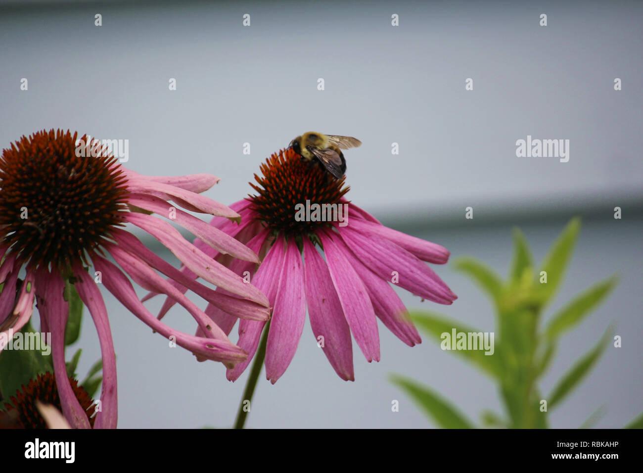 Macro shot of a bumblebee feeding on a purple Echinacea flower - Stock Image