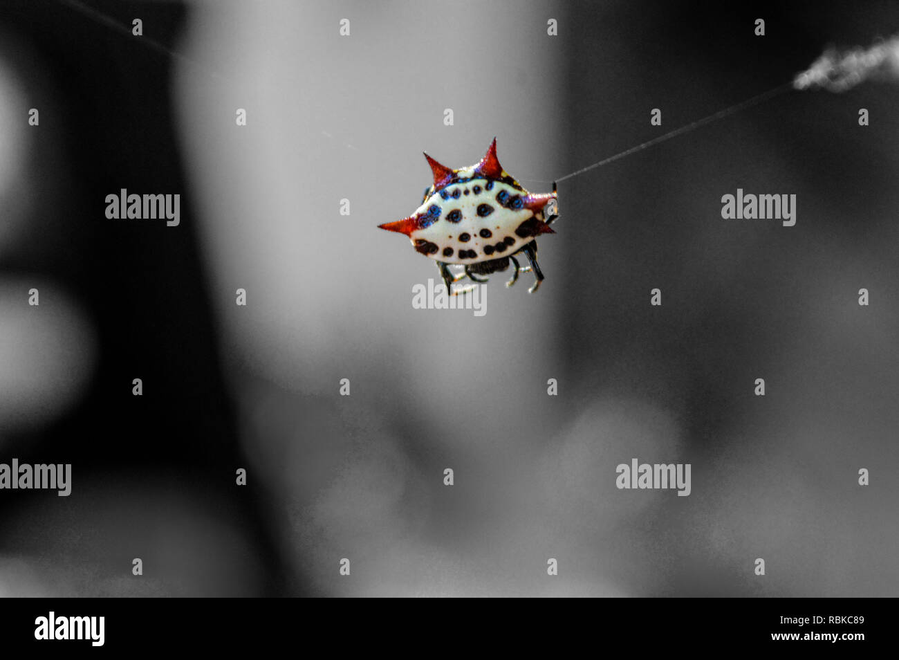 Spinybacked Orbweaver, Gasteracantha cancriformis, Spider with a smiling face on its back - Stock Image