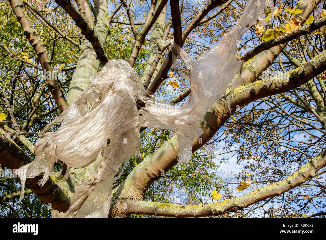 Plastic waste. Plastic sheeting caught on branches in a tree, Nottingham, England, UK - Stock Image