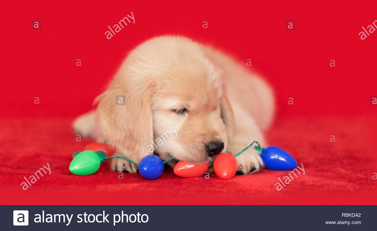 Golden Retriever puppy dog laying on red tree skirt chewing on light bulb christmas garland decoration. Stock Photo