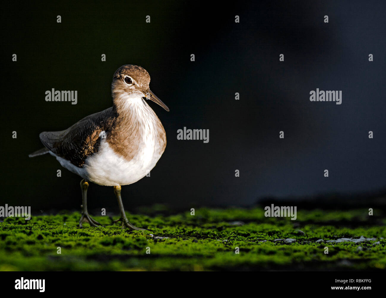 Common Sandpiper by the river - Stock Image